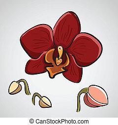gezeichnet, phalaenopsis, -, hand, orchidee