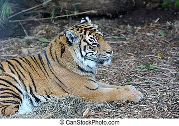 gezicht, van, een, sumatran tijger, liegen beneden, op het terrein