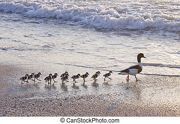 gezin, duck's