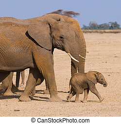 gezin, olifant