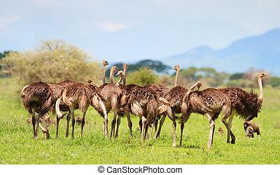 gezin, struisvogel