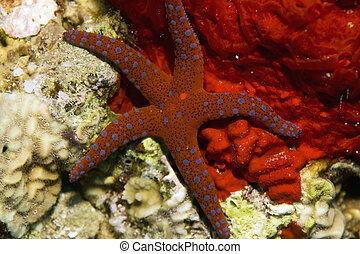 ghardaqa sea star (fromia ghardaqana)