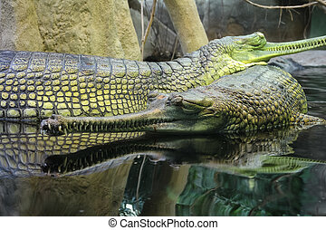 Gharial Gavialis gangeticus also knows as the gavial -...