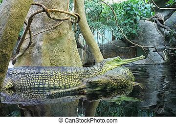 Gharial Gavialis gangeticus gavial crocodile pair in water