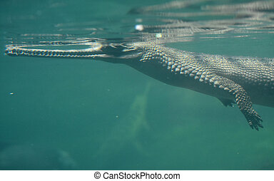 Gharial Under the Surface of the Water