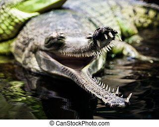 Gharial with open mouth - Gharial, or gavial - Gavialis...