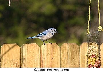ghiandaia blu