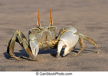 Ghost crab - Alert ghost crab on the beach, southern Africa