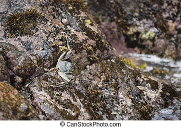 Ghost Crab, La Digue, Seychelles