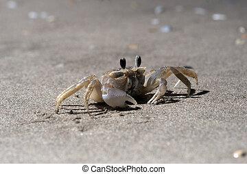 Ghost crab on a sandy beach. Night shooting