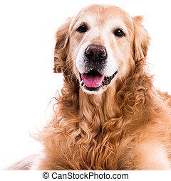 giù, dorato, posa, cane, cane da riporto