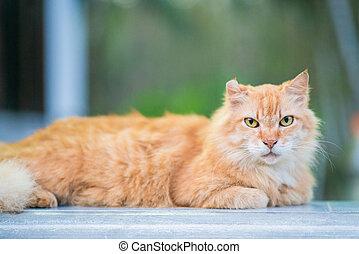 giù, gatto marrone, grasso, bugia