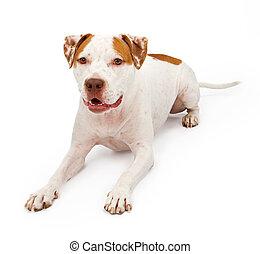 giù, terrier, americano, posa, staffordshire