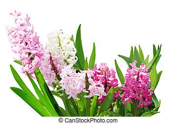 giacinto, piante, fiore, gruppo, isolato, bianco