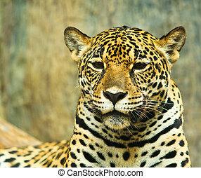 giaguaro, e, lived, in, america centrale, e, sud america
