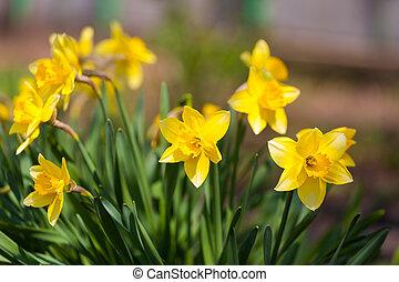 Suisen tromboni colore giallo daffodil for Narciso giallo