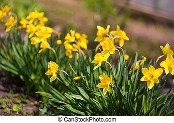 Fiore daffodils colore giallo daffodil field fiori for Narciso giallo