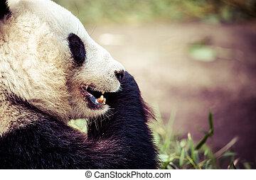 giand, manger, ours panda, bambou