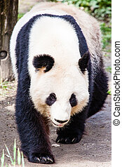 giand, marche, ours, panda