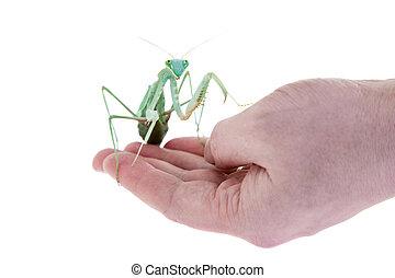Giant african mantis, Sphodromantis viridis, on hand - ...