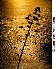 Giant Aloe plant against the sun - Giant Aloe plant flower...