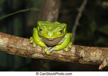 Giant Amazon tree frog.