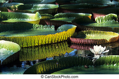 Giant Amazon water lily (Victoria amazonica)