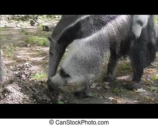 Giant anteater (Myrmecophaga tridactyla) mother is eating ants
