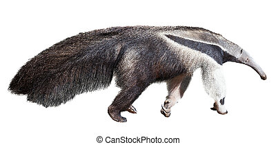 Giant anteater. Isolated over white background