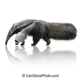 Giant Anteater, Myrmecophaga Tridactyla,On White Background