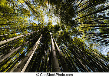 giant bamboo growing in forest