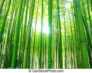 giant bamboos forest - sunshine through forest of giant...