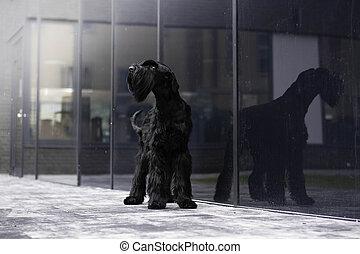 Giant black schnauzer dog in the city