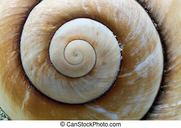 Giant Brown Snail shell