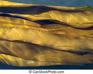 Giant Bull Kelp Fronds - Fronds of the Giant Bull Kelp...