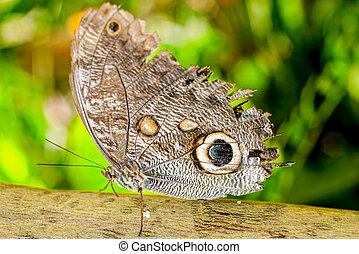 Giant Caligo Oileus Butterfly, The Owl Butterfly, Amazonian ...