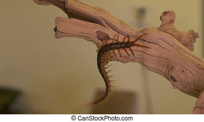 Handheld, medium close up shot of a giant centipede dangling from a tree branch.