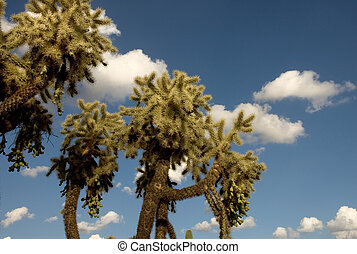 Giant Cholla Cactus with blue sky and white puffy clouds