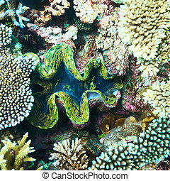 Giant clam at the tropical coral reef - Giant clam (Tridacna...