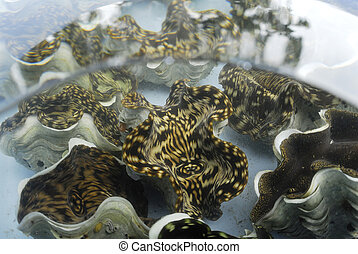 giant clam in tank wait for transplant