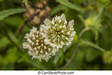 Giant Clover Flower, (Trifolium repens) close up