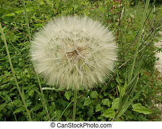 Giant Dandelion on the Background of Green Grass