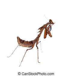 Giant Dead Leaf Mantis, Deroplatys desiccata on white - ...