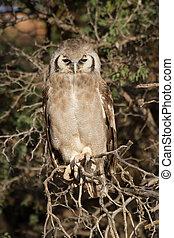 Giant eagle owl sitting in a Kalahari tree sleeping during day