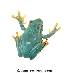 Giant Feae flying tree frog on white - Giant Feae flying...