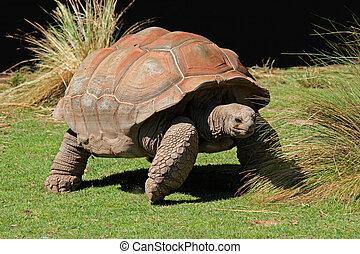Galapagos tortoise - Giant Galapagos tortoise (Chelonoidis ...