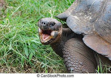 Giant galapagos tortoise close up