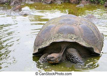 Giant Galapagos Tortoise in pond - Giant Galapagos Tortoise...