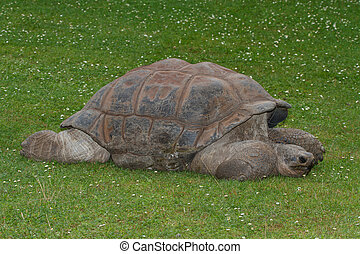 Giant Galapagos tortoise on the grass. close-up