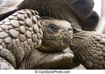 Giant Galapagos Tortoise - Giant Galapagos Tortoise